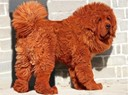 RED TIBETAN MASTIFF - DOKHYI - £1,000,000