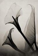 Calla Lily X-Ray by Thomas W. Louyle, 1930