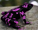 Costa Rican variable harlequin toad