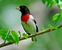 The Rose-breasted Grosbeak
