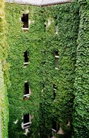 House covered in ivy
