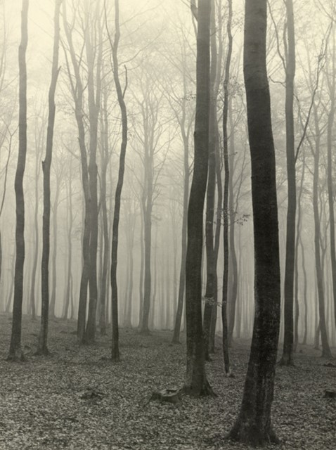 Beech forest in fog, Max Baur, ca. 1930s