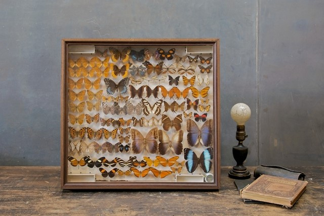 Victorian Butterfly Taxidermy