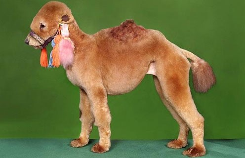 the camel poodle