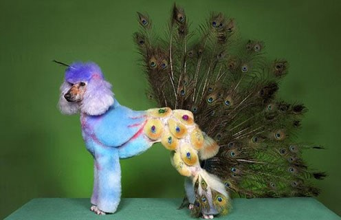 the peacock poodle