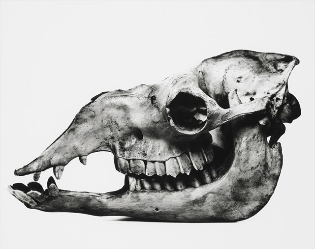 Camel skull by Irving Penn 1986