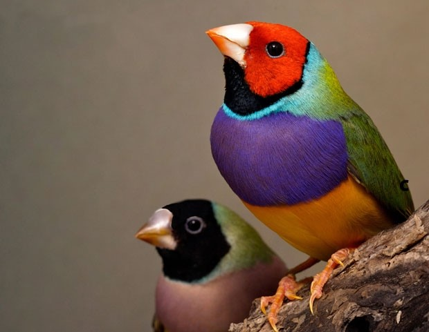 An Endangered Australian Lady Gouldian Finch