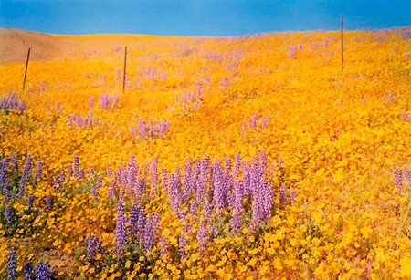 Untitled (field of yellow and purple flowers) by William Eggleston, 1978