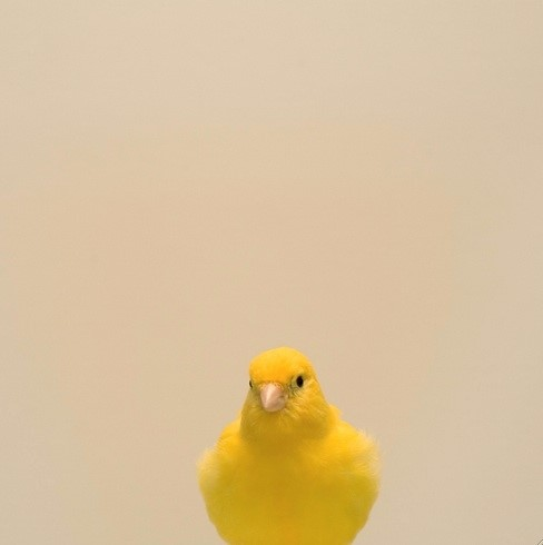 Canary by Luke Stephenson