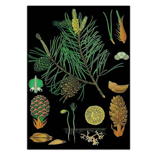 Anatomical Wall Chart - Pine