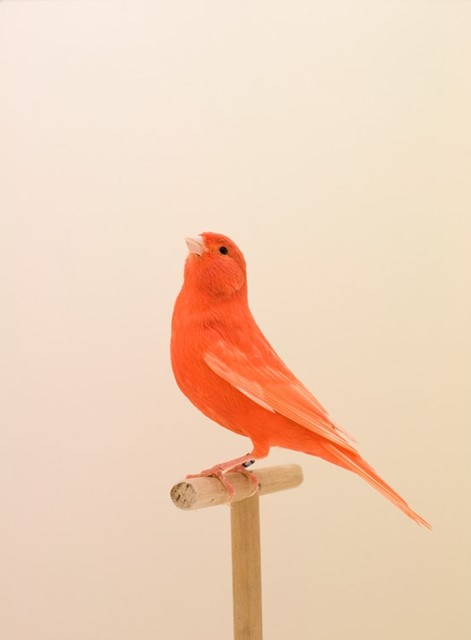 The Incomplete Dictionary of Show Birds