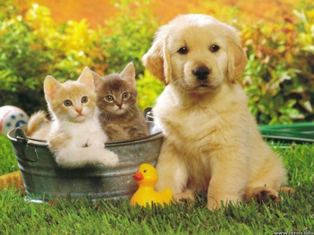Labrador puppy, kittens and rubber duck