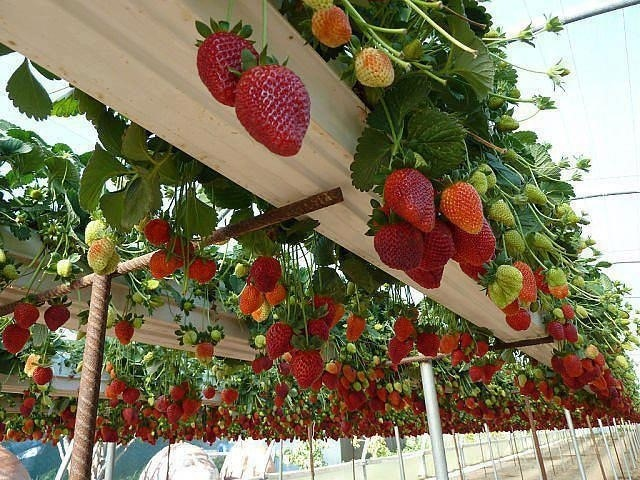 Hanging strawberry plants