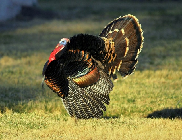 """A Romance for the Wild Turkey"" by Paul Zimmer"