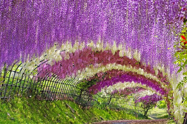 The Wisteria Tunnel at Kawachi Fuji Gardens