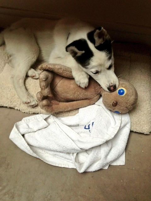 Puppies playing with plush toys