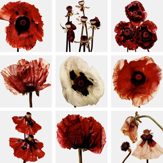Flowers, Irving Penn, 1969