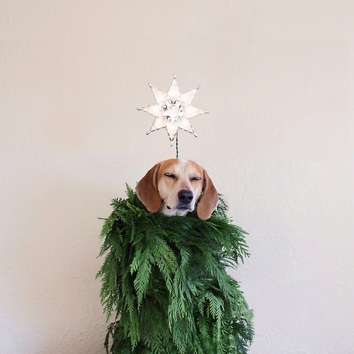 Christmas Coonhound