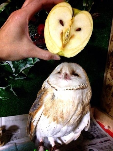 apple of my owl