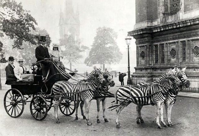 Zebra-drawn carriage