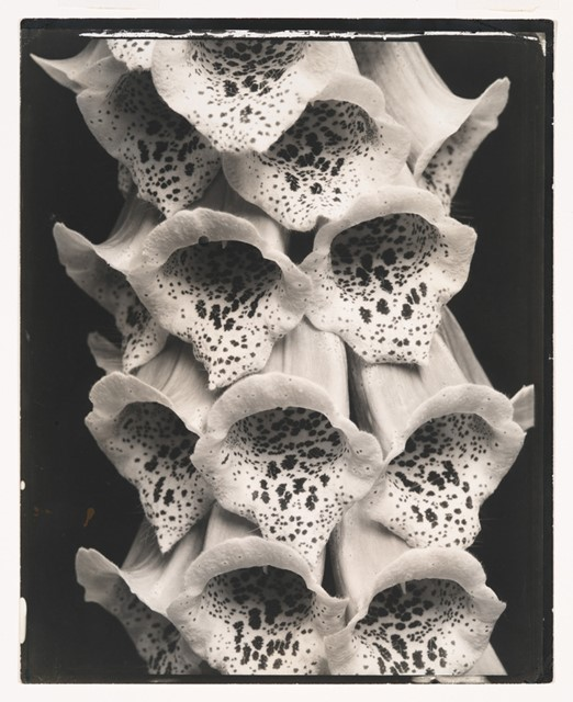 Edward Steichen, Foxgloves, France, 1925