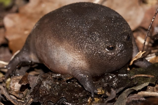 The Plain Rain Frog's grumpy face