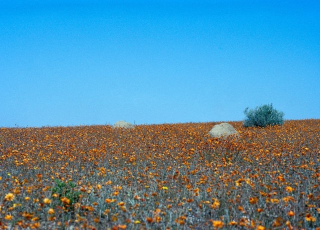 A Flower Meadow in the Desert