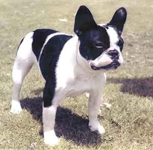 Moujik, Yves Saint Laurent's French bulldog